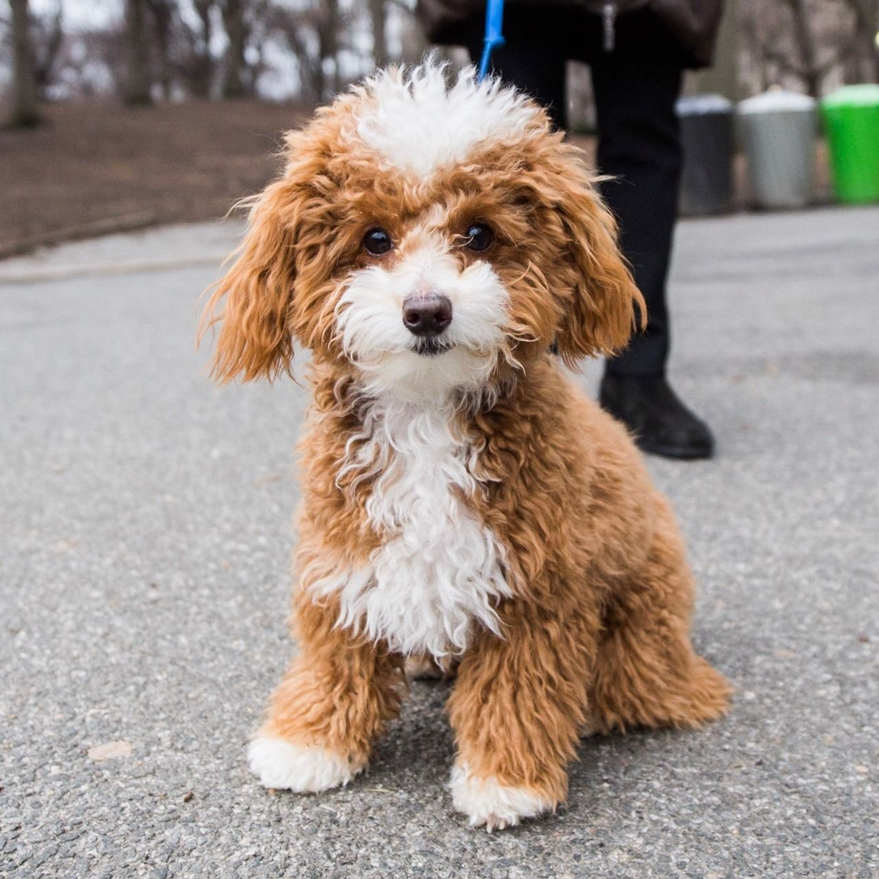 Oliver, Toy Poodle (10 m/o), Central Park, New York, NY