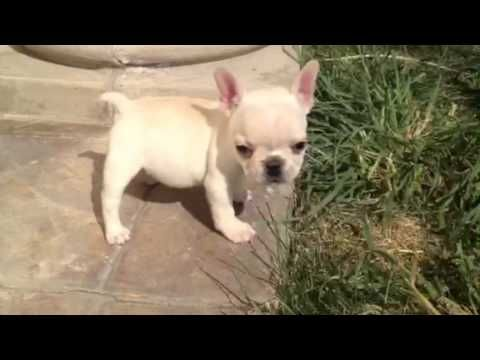 Tiny Teacup Size Creme French Bulldog In Los Angeles Area Rare