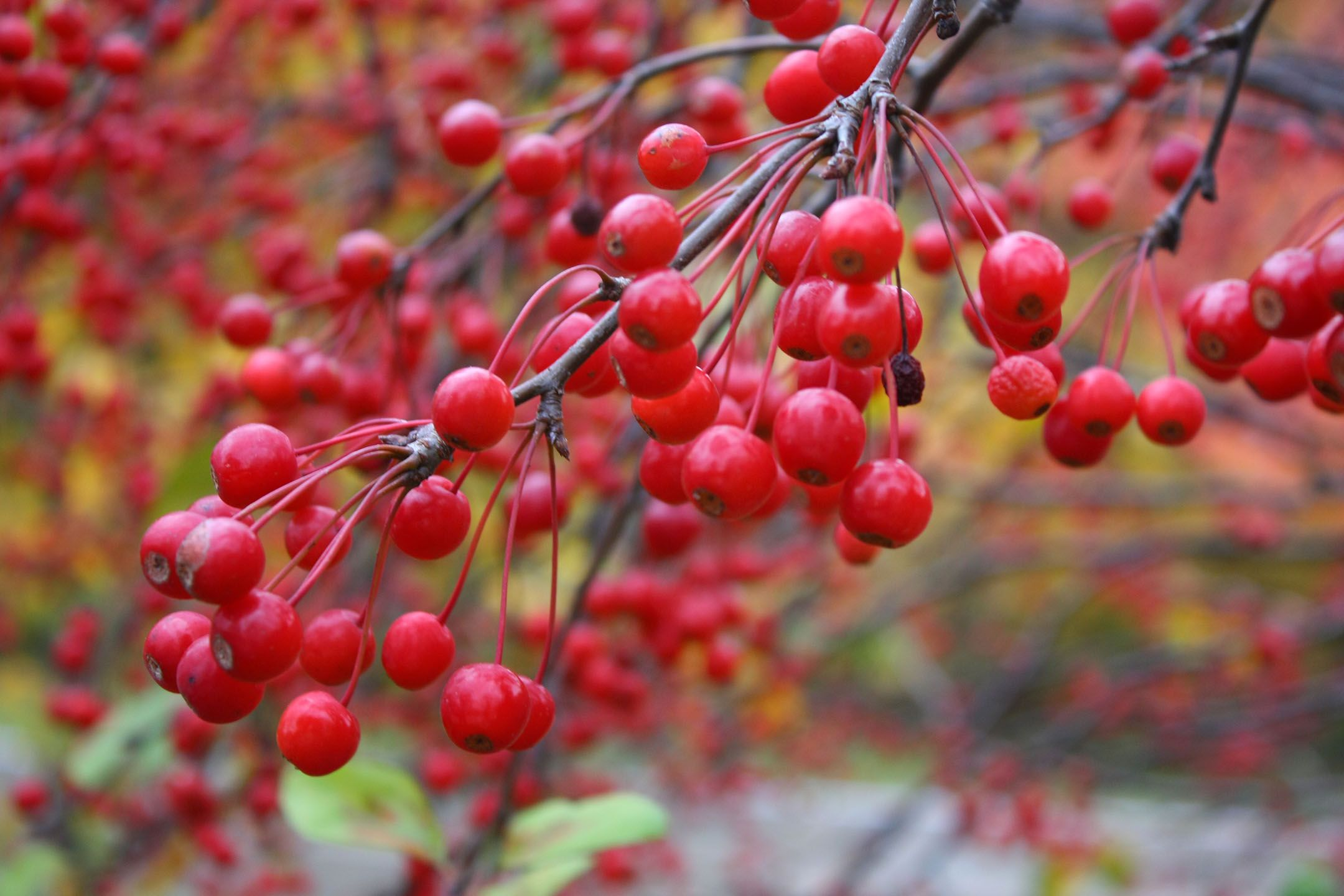 11 Best Trees To Plant For New England Style Foliage Gardenista Trees To Plant Crabapple Tree Winter Garden