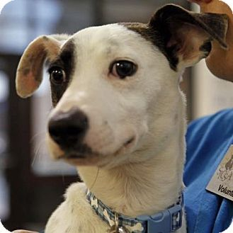 Kettering Oh Pointer Whippet Mix Meet Jacoby A Dog For Adoption Dog Adoption Whippet Mix Whippet