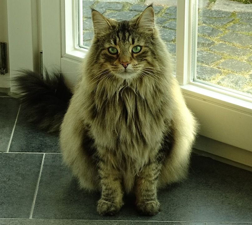 Long Haired Cat Breeds Why You Should Get One Norwegian Forest Cat Norwegian Cat Tabby Cat