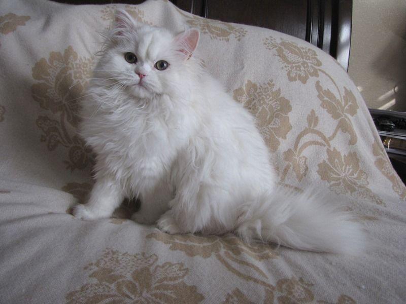Emma Green Eyed White Teacup Persian Treasured Kittens Kittens Persian Cat Persian