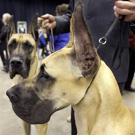 The Annual Crown Classic Dog Show Dane Dog Great Dane Dogs Dogs