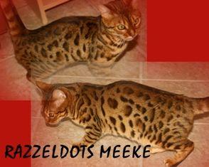 Illinois Chicago Bengal Cat Kitten Breeders Bengal Cat Breeders