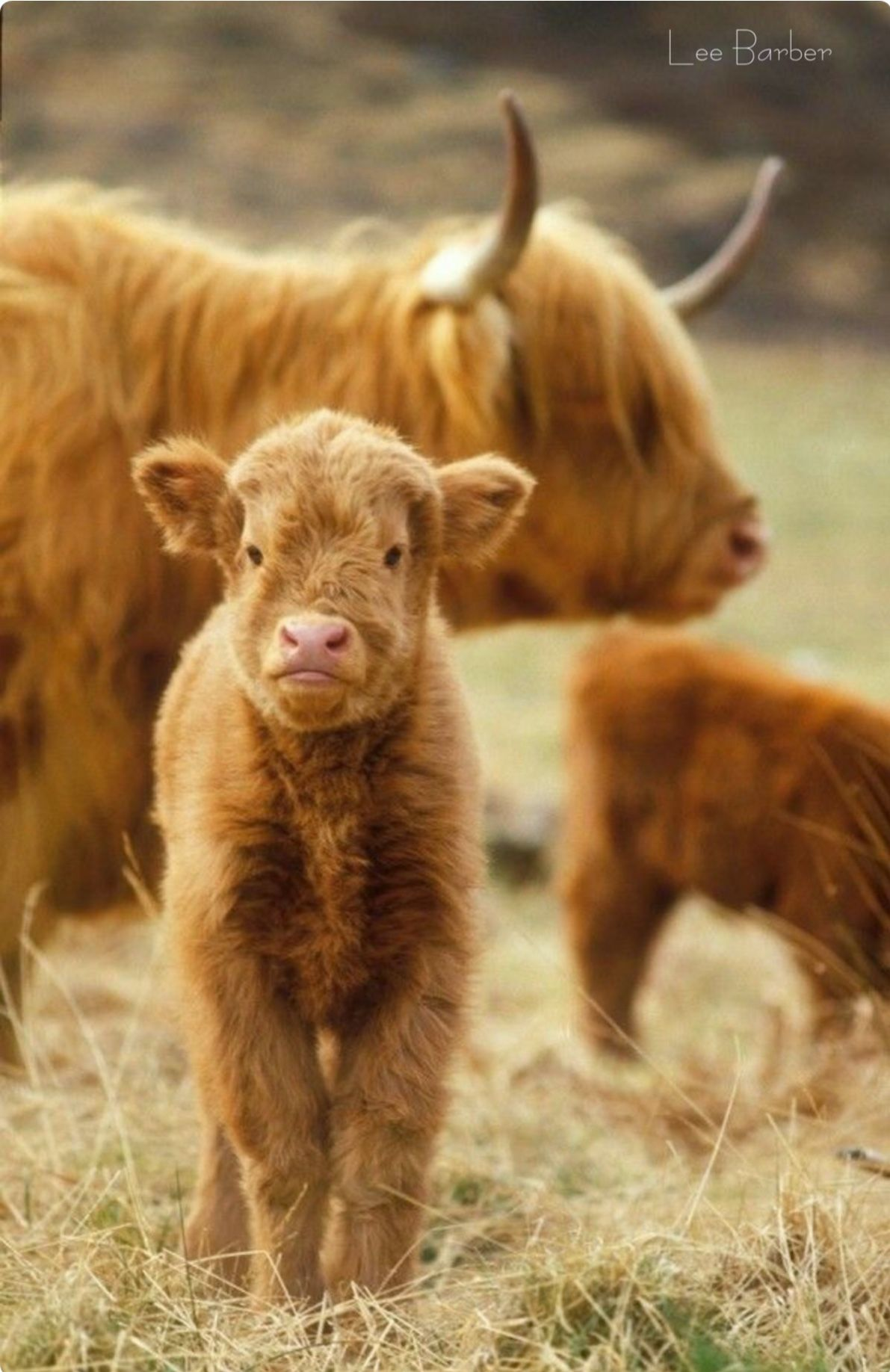 Highland Cattle Cute Little Calf With Mom In The Background Animals Cute Cows Baby Animals