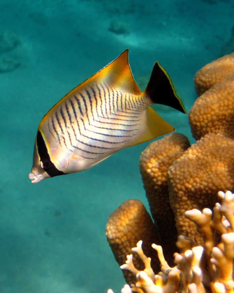 Threadfin Butterflyfish With Images Ocean Animals Sea Animals Sea Creatures