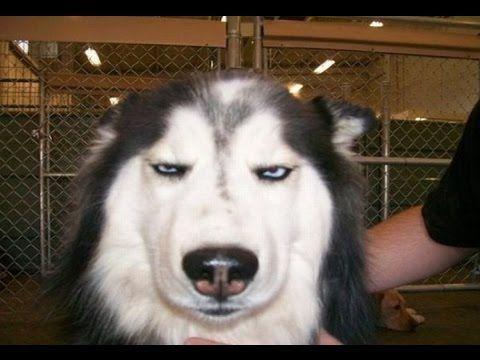คล บตลกท ส ดในโลก รวมฉากฮาๆของหมา Dog Quotes Funny Husky Memes Funny Dog Memes