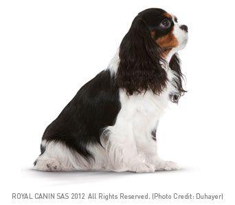 Cavalier King Charles Spaniel Zwierzeta Psy