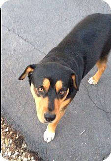 Chandler Az Rottweiler Great Pyrenees Mix Meet Dolce A Dog For