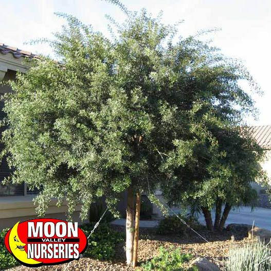 Mastic Tree Tree Spe Pt 8 10 Pinterest Hedge Trees