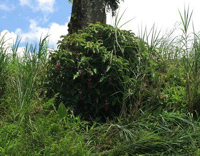 Medinilla magnifica - Rose Grape, Showy Medinilla, Malaysian Orchid, Chandelier Tree, Kapa-kapa (wild plant)