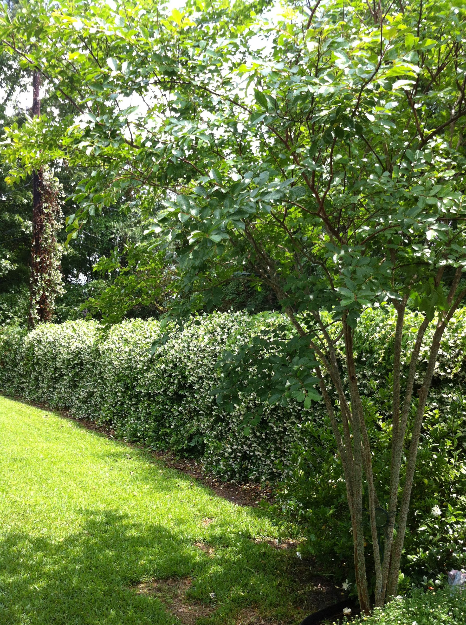 Living Privacy Fence English Ivy On Chain Link Outdoor Ideas Pinterest Gardens