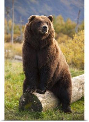 Doug Lindstrand Poster Print Wall Art Print entitled A Large Brown Bear Sits On A Log At The Alaska Wildlife Conservation Center