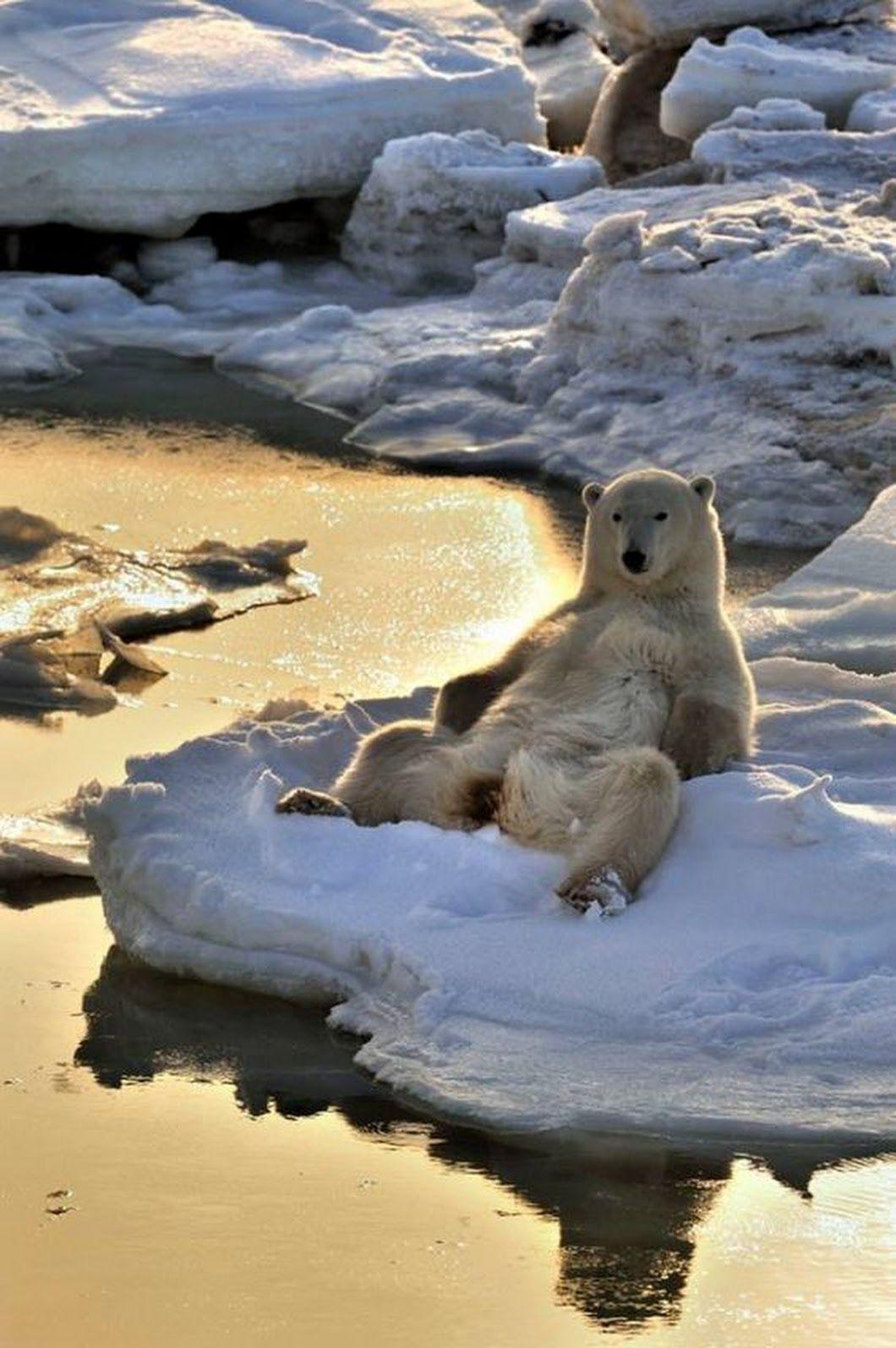Man Spreader Polar Bear Casually Comfortable And Not At
