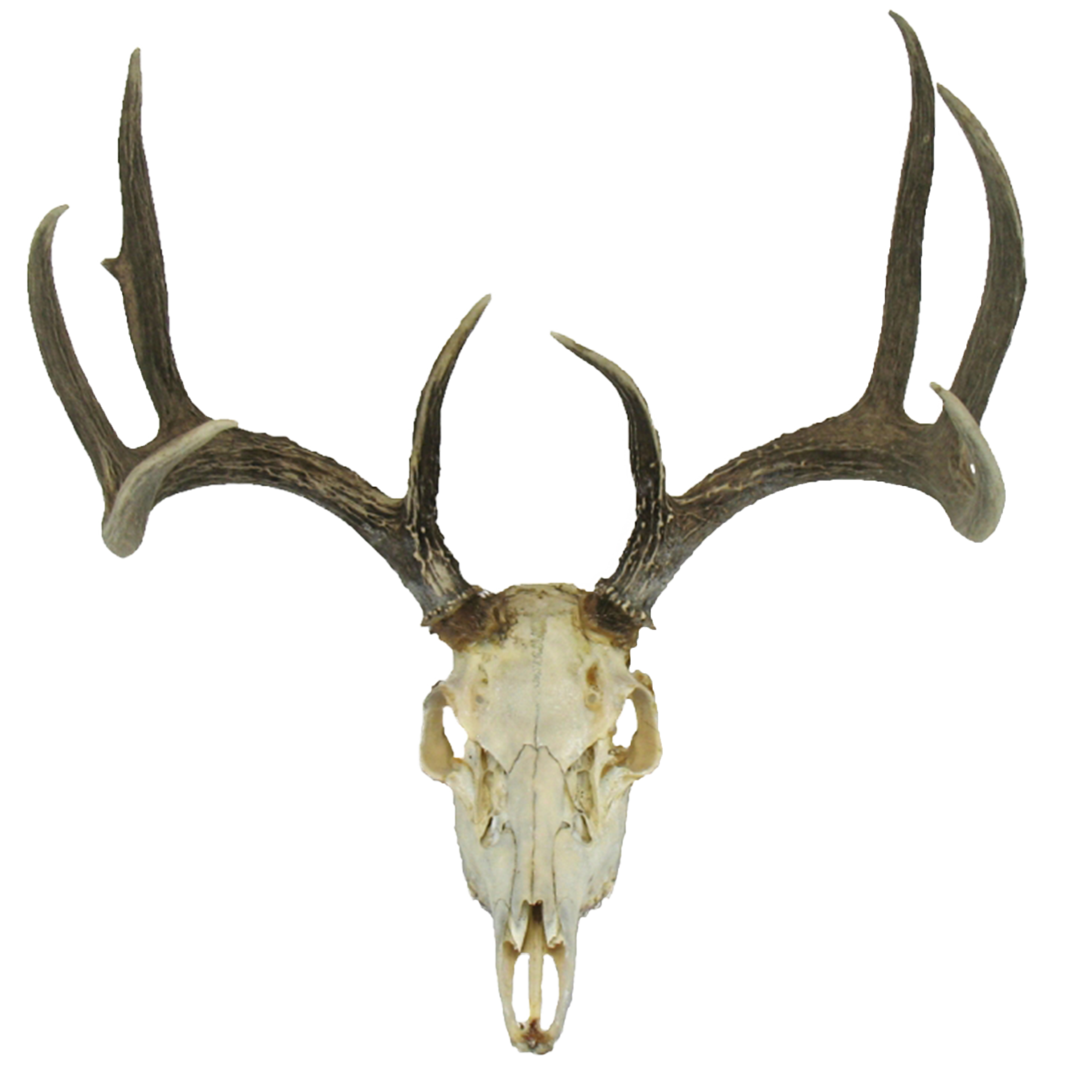 Deer Skull Pictures to Pin on Pinterest - ThePinsta