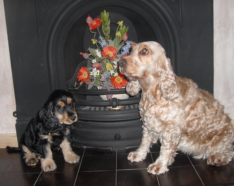 English cocker spaniel dog breed puppies cocker spaniel