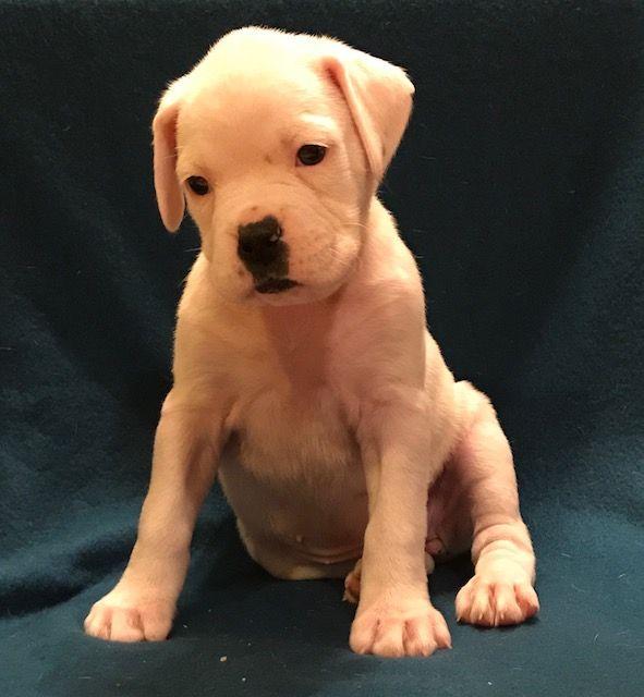 Boxer Puppy For Sale In Worcester Ma Adn 56793 On Puppyfindercom