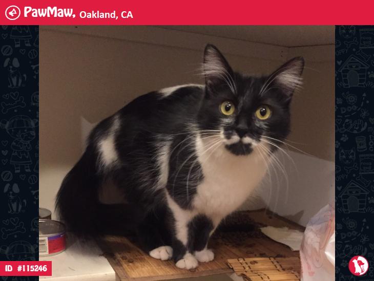 MOO LOST CAT IN OAKLAND, CA 94618 in 2020 Lost cat