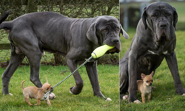 Tiny chihuahua has a new best friend in 9st mastiff 120 times his size