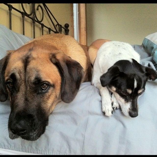 English Mastiff Golden Retriever Mix And Rat Terrier Puppy