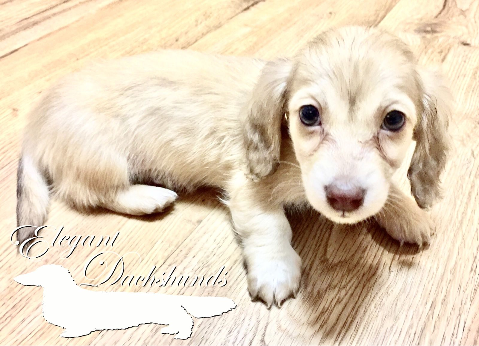 Chocolate Based Shaded Cream Dachshund Elegant Dachshunds With