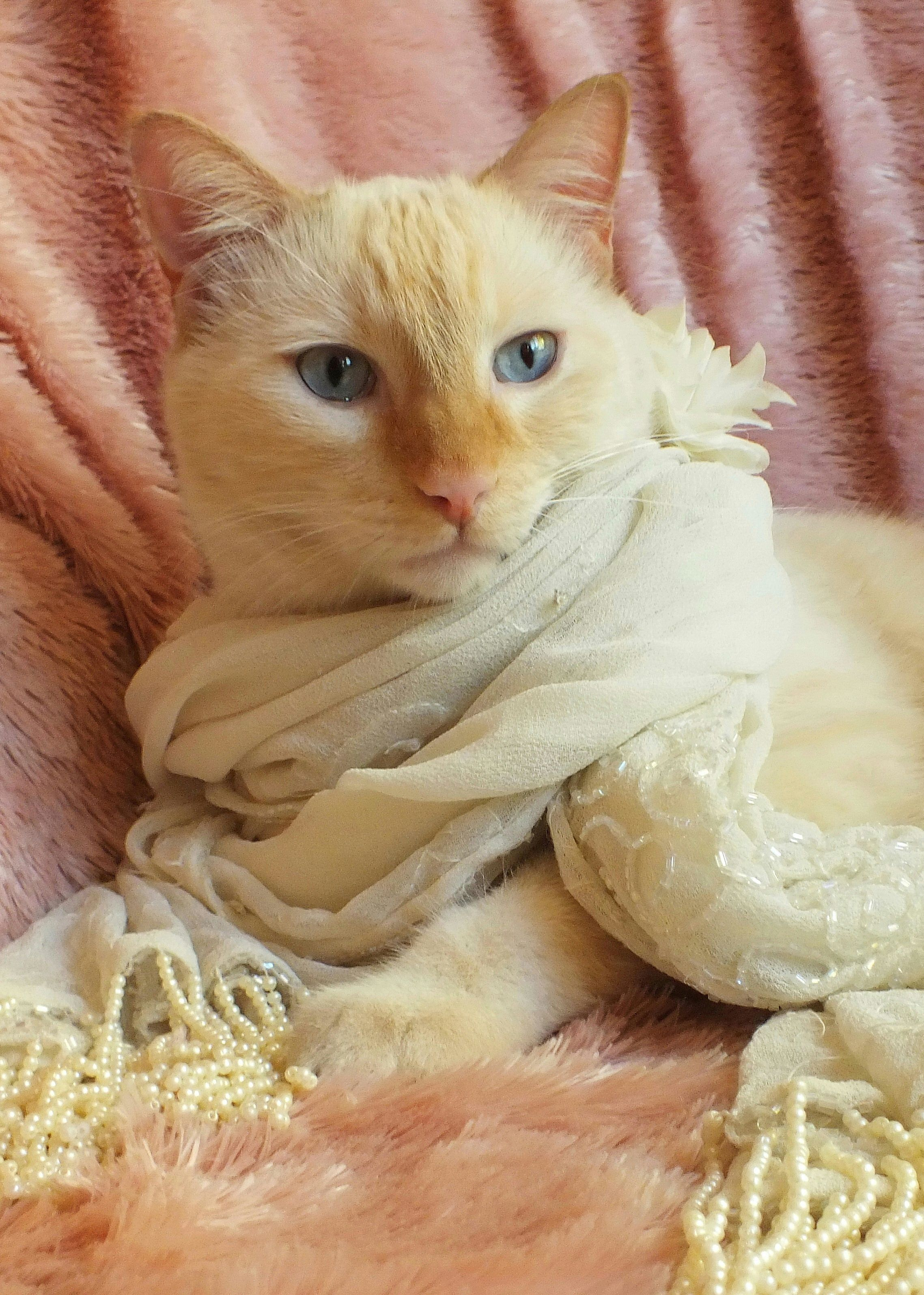 Dean The Flame Point Siamese Wearing Beaded Pearl Scarf Outfit Costume Orange And White Cat With Big Blue Eyes P Orange And White Cat Fluffy Cat Creepy Cat