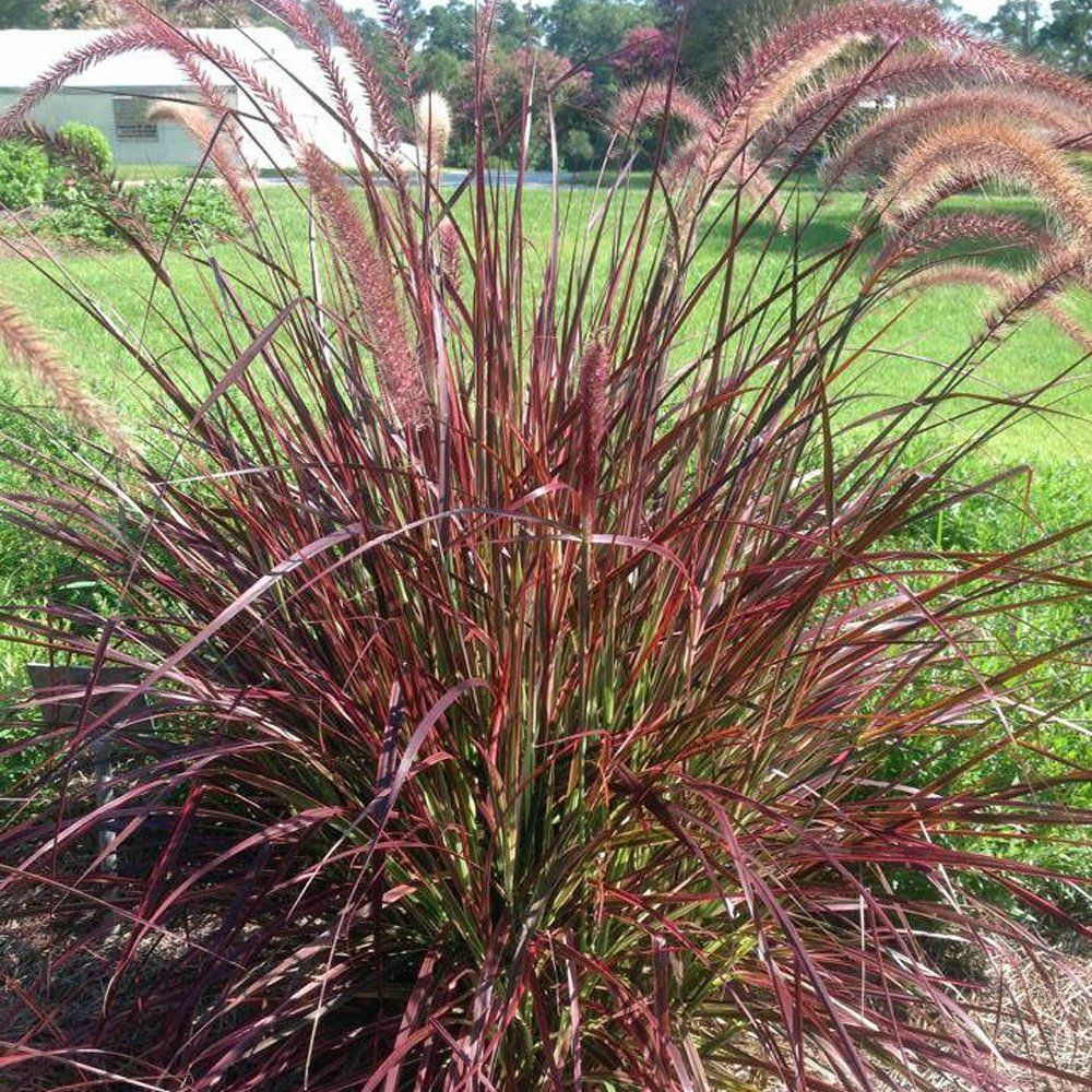 Fireworks Pennisetum Plant Fountain Grass Red Fountain Grass Ornamental Grass Landscape Grasses Landscaping
