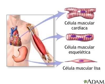 Tipos de tejido muscular | salud | Pinterest | Tejido muscular ...