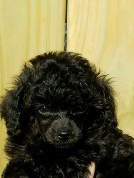 Litter Of 3 Poodle Toy Puppies For Sale In Adamsville Tn
