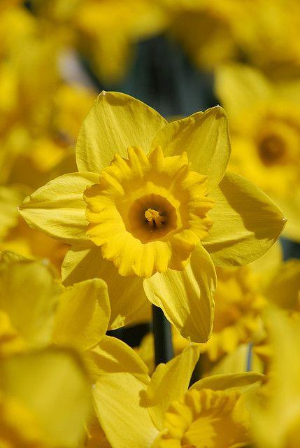 Yellow Daffodil Flowers Yellow Daffodils Daffodil Flower Daffodils