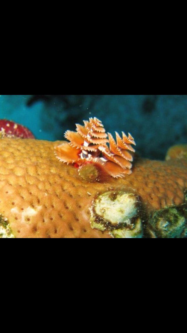 Christmas Tree Worm Bahamas Fish Pet Worms Food