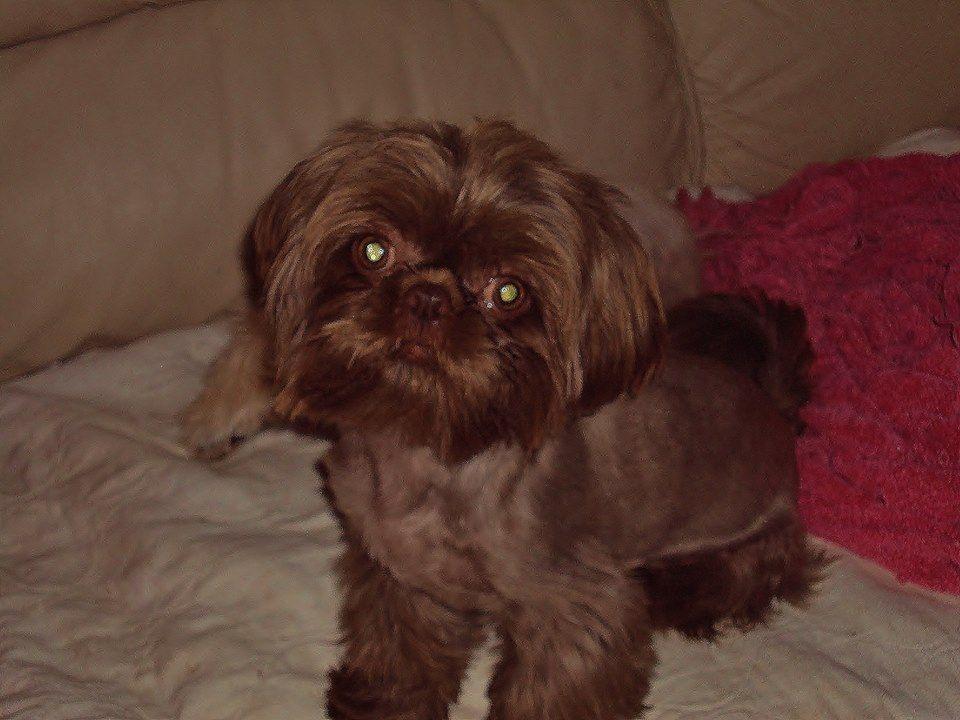 Our Chocolate Shih Tzu Stud Cute Animals Shih Tzu Puppy