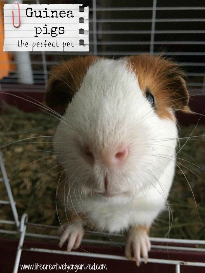 Guinea pigs are gentle and easy to take of. They have big personalities and make great pets. Here are some ways to keep your piggie happy and healthy! #lifecreativelyorganized #guineapigs #cavies