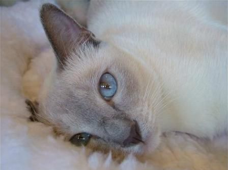 Blue Point Tonkinese Cat Tonkinese Cat Siamese Cats Blue Point Burmese Cat