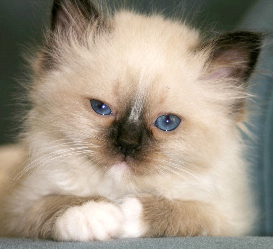 Top 10 Fluffy Cat Breeds List [+Parenting Simplified Tips