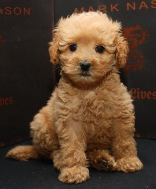 Past Beau Monde Labradoodles Cinnamon Puppies California S Best Golden Doodles Cavapoo Puppies Goldendoodle Puppy Puppies
