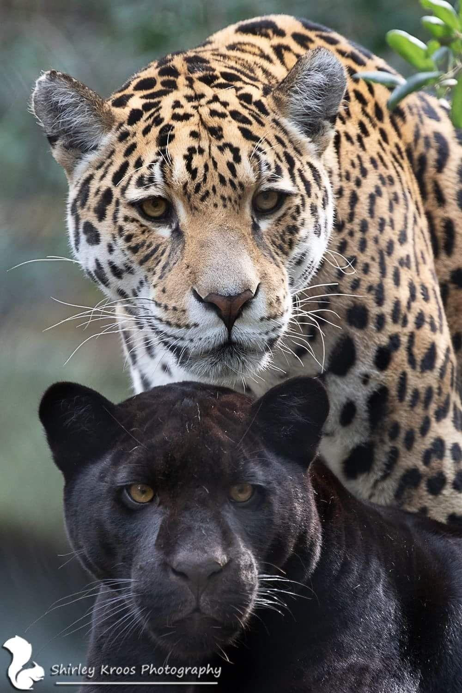 Картинки пантер леопардов