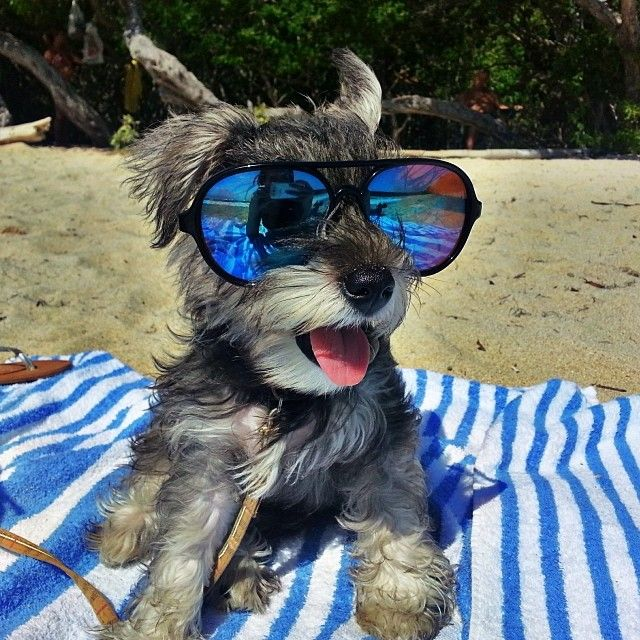 Resultado de imagen para schnauzer with sunglasses