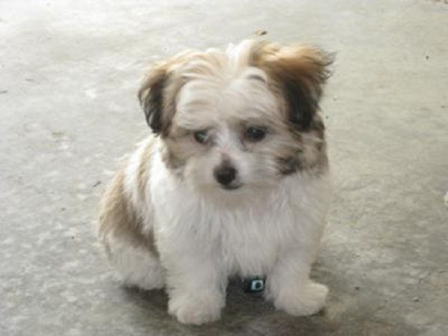 Maltese Yorkie Mix Puppies For Sale Cute Puppies Puppy Pals