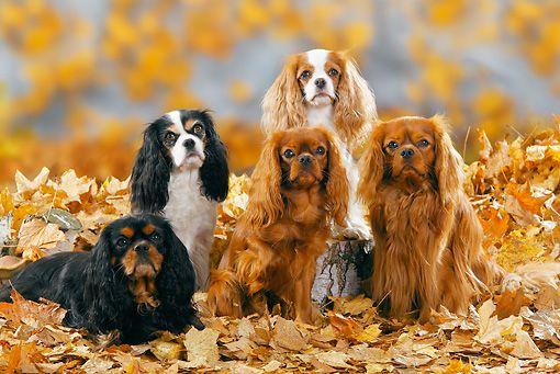 Cavalier King Charles Cavalier King Charles King Charles King Charles Cavalier Spaniel Puppy