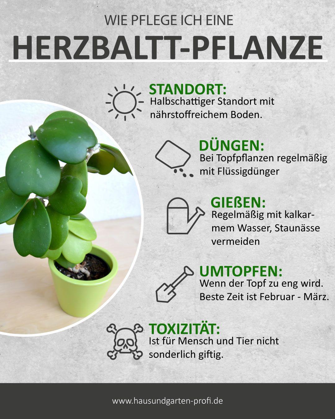 Herzblatt-Pflanze: Pflege, Standort, Gießen, Düngen – So geht's