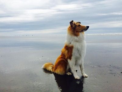 Breeders Of Quality Akc Rough And Smooth Collies In Washington