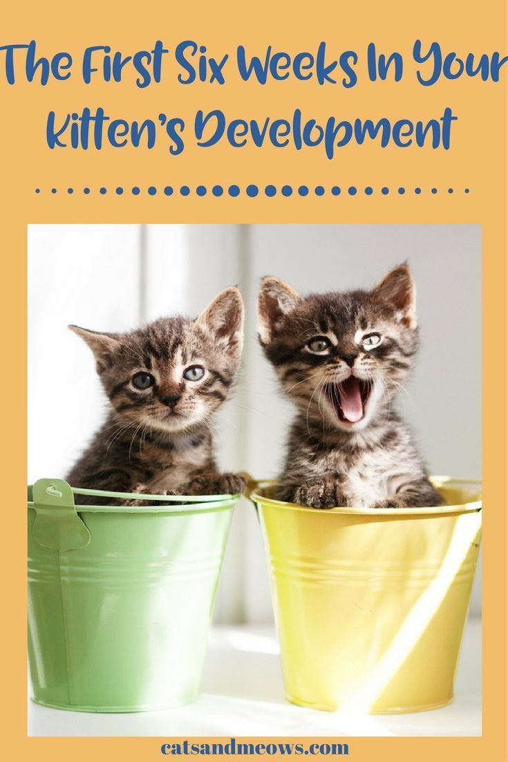 The First Six Weeks In Your Kitten S Development What To Expect Cats And Meows Cat Care Kitten Health Cat Care Tips