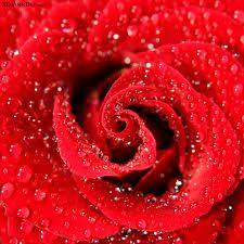 imagens de rosas amarelas com mensagens - Pesquisa Google