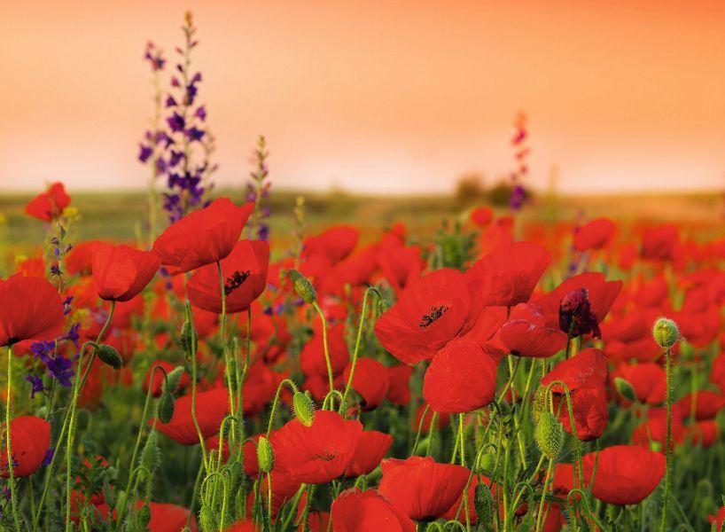 Mohnfelder Sprache Der Blumen Mohn Rot Rote Blumen