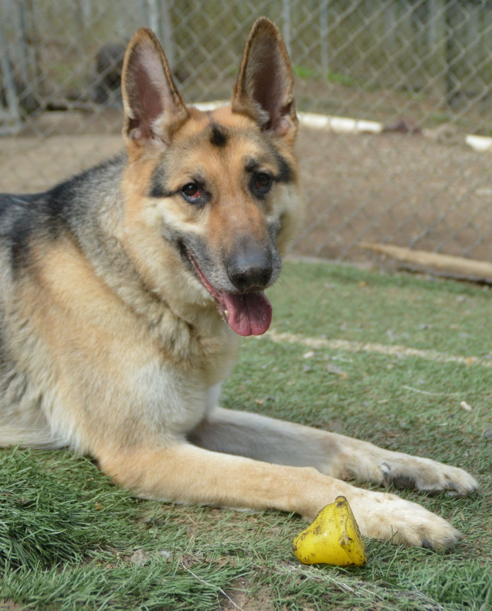 Adopt Benedict On German Shepherd Dogs Dog Search Phoenix Animal