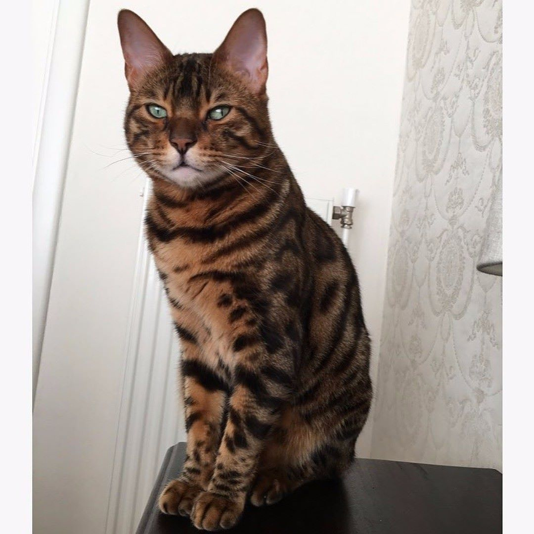 Emergency Veterinary Advice For What To Do If Your Pet Fall Ill Or Suffers An Injury Poisoning Or Indiscrete Inges Bengal Cat Bengal Kitten Cat Photography