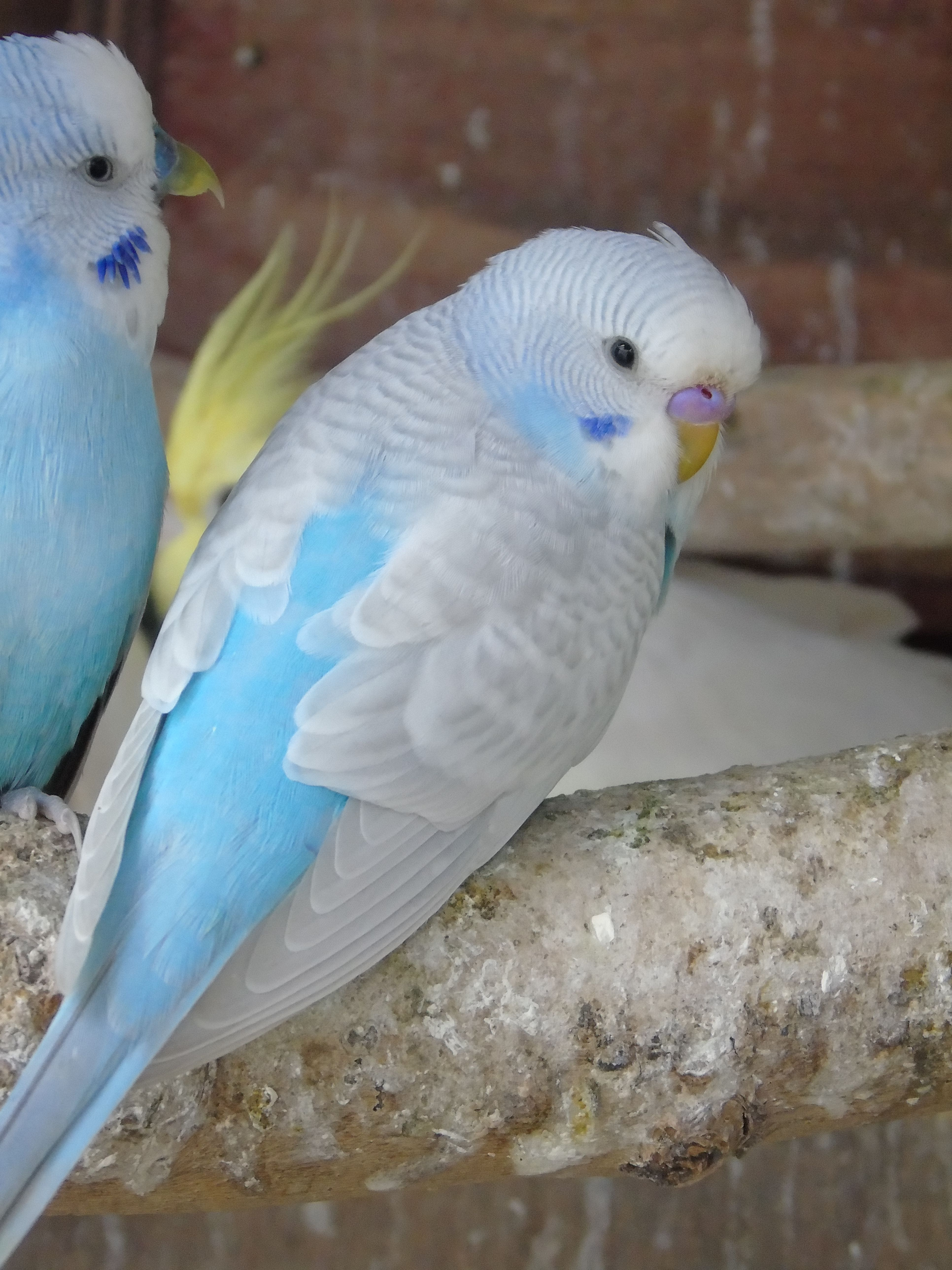 Budgies As Pets Male Or Female
