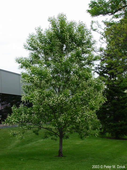Prunus Serotina Black Cherry Minnesota Wildflowers Black Cherry Tree Black Olive Tree Lilac Tree