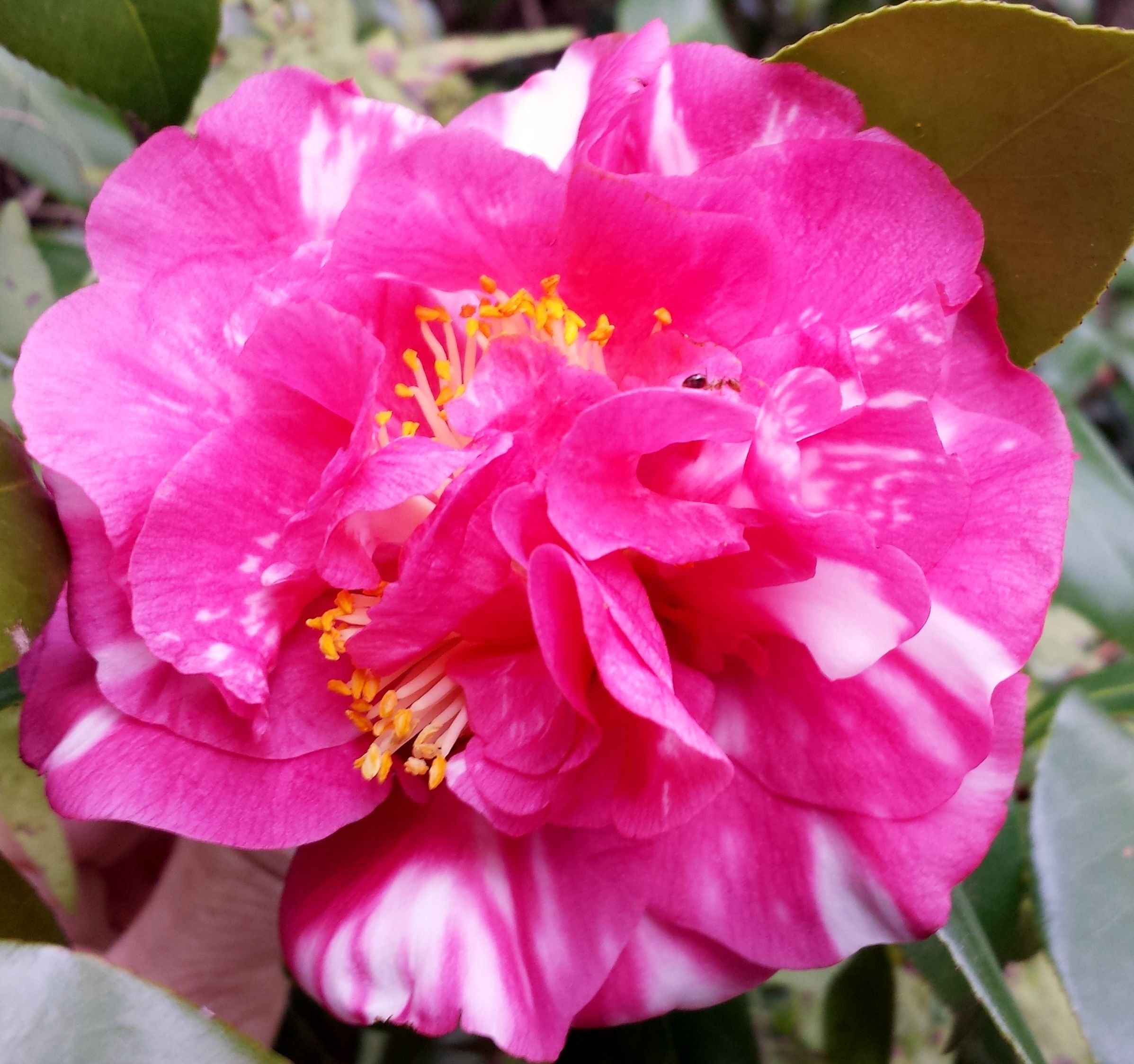 Beauty Of Holland Camellia Flowers Japonica
